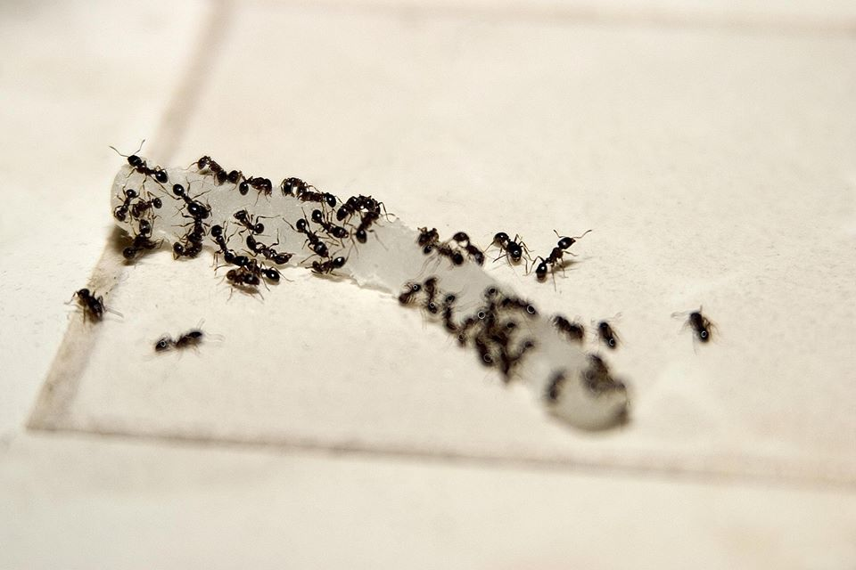 Small Ants